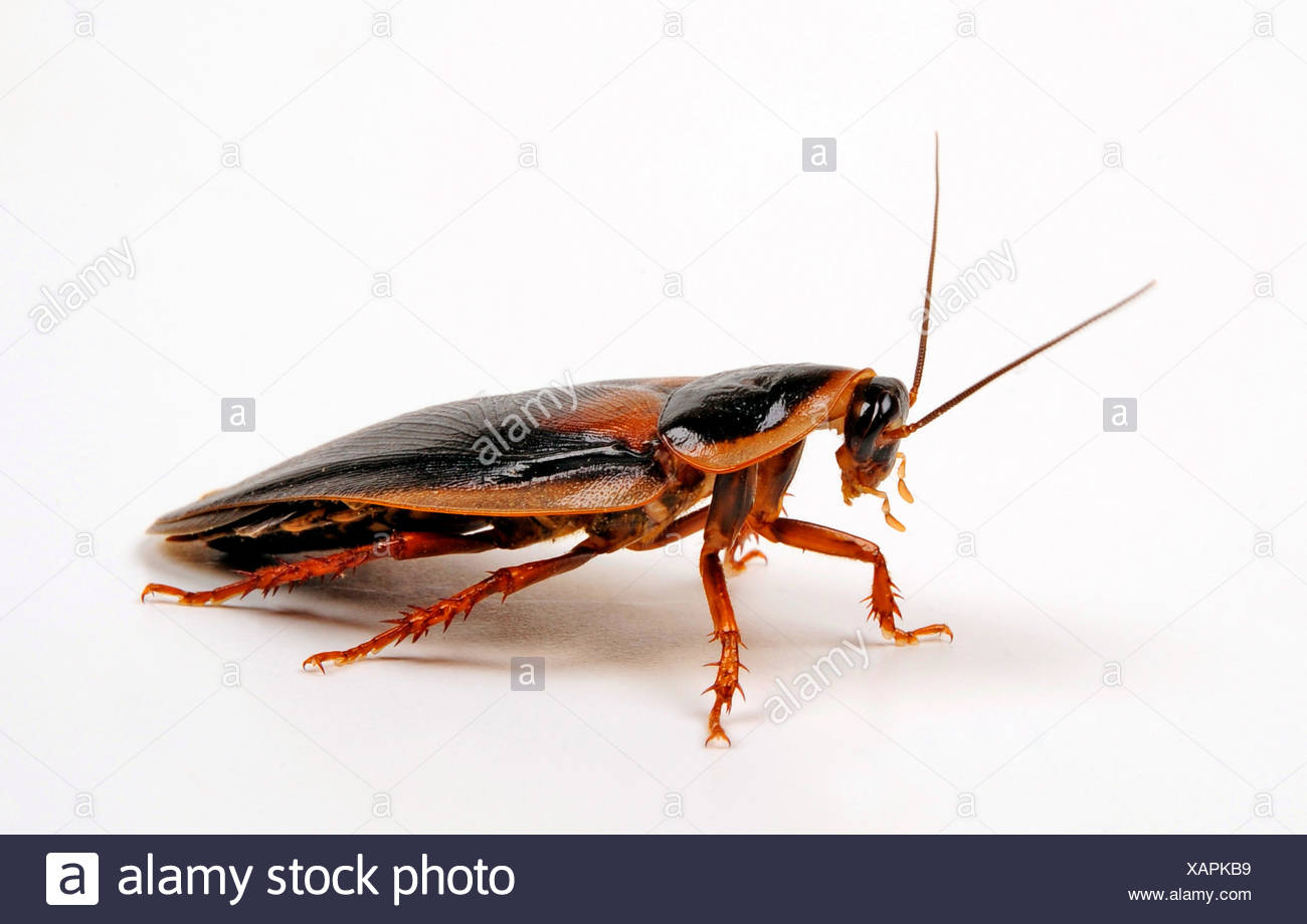 Orange-spotted cockroach, Guyana spotted cockroach, Argentinian wood cockroach (Blaptica dubia), male, cut-out - Stock Image
