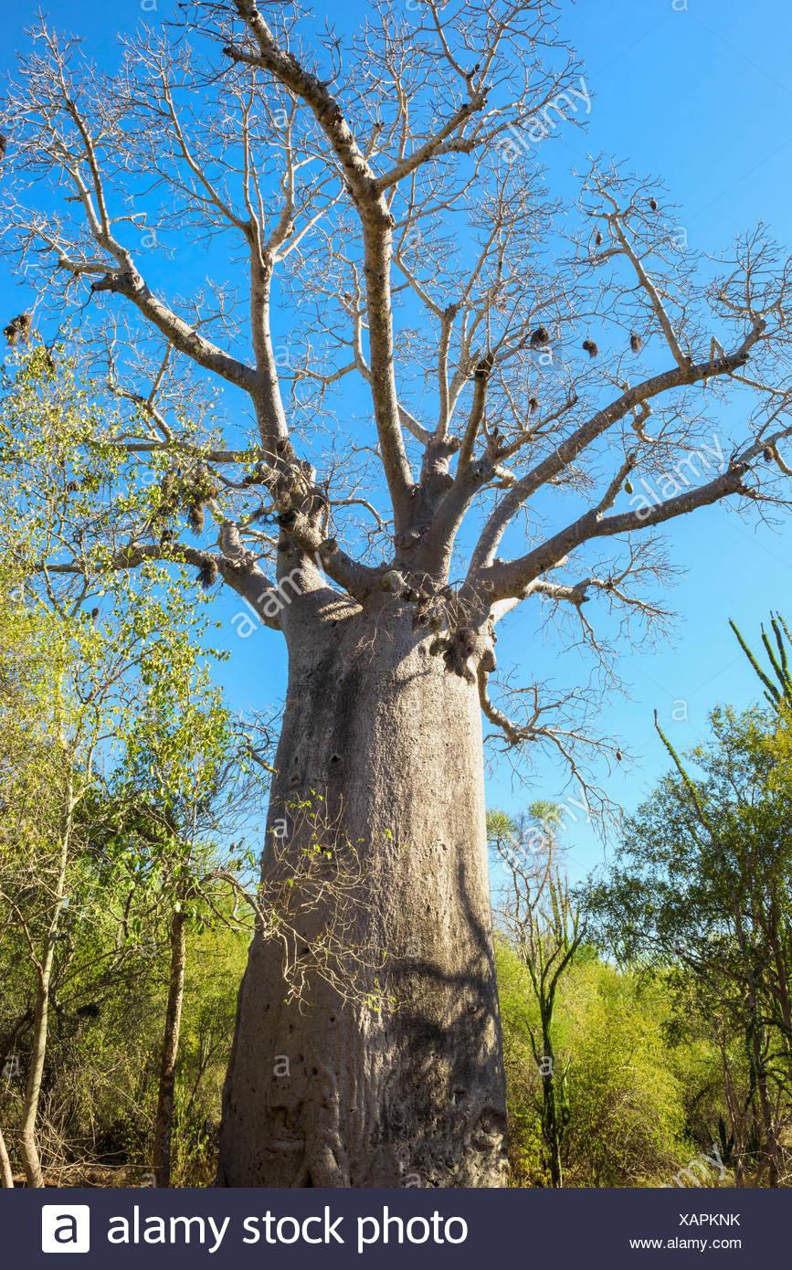 Adansonia za baobab tree, Berenty, Fort Dauphin, Toliara Province, Madagascar - Stock Image