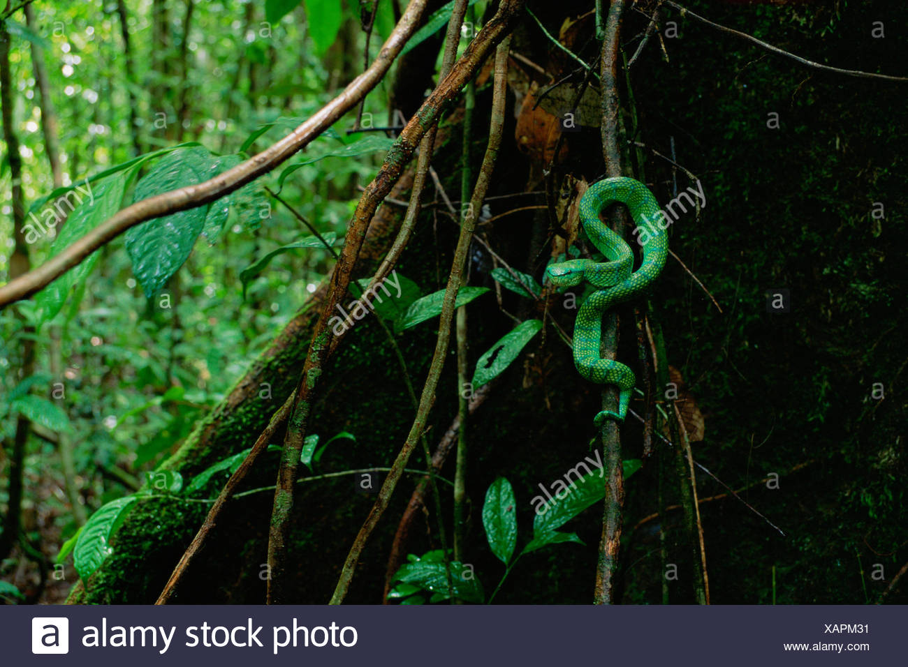 Wagler's / Temple pit viper (Tropidolaemus wagleri) in lowland rainforest, Gunung Palung National Park, Borneo, West Kalimantan, Indonesia - Stock Image