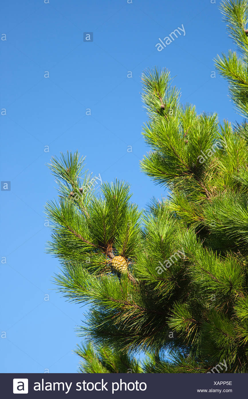 Branches of conifer with pine cones visible against blue sky. - Stock Image