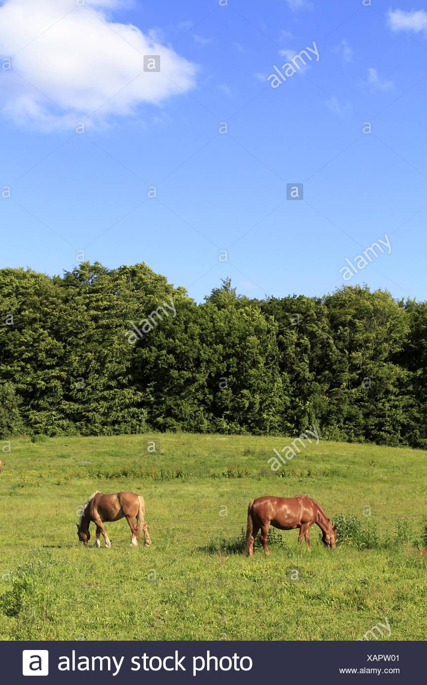 Zwei Pferde weiden auf einer Wiese - Stock Image