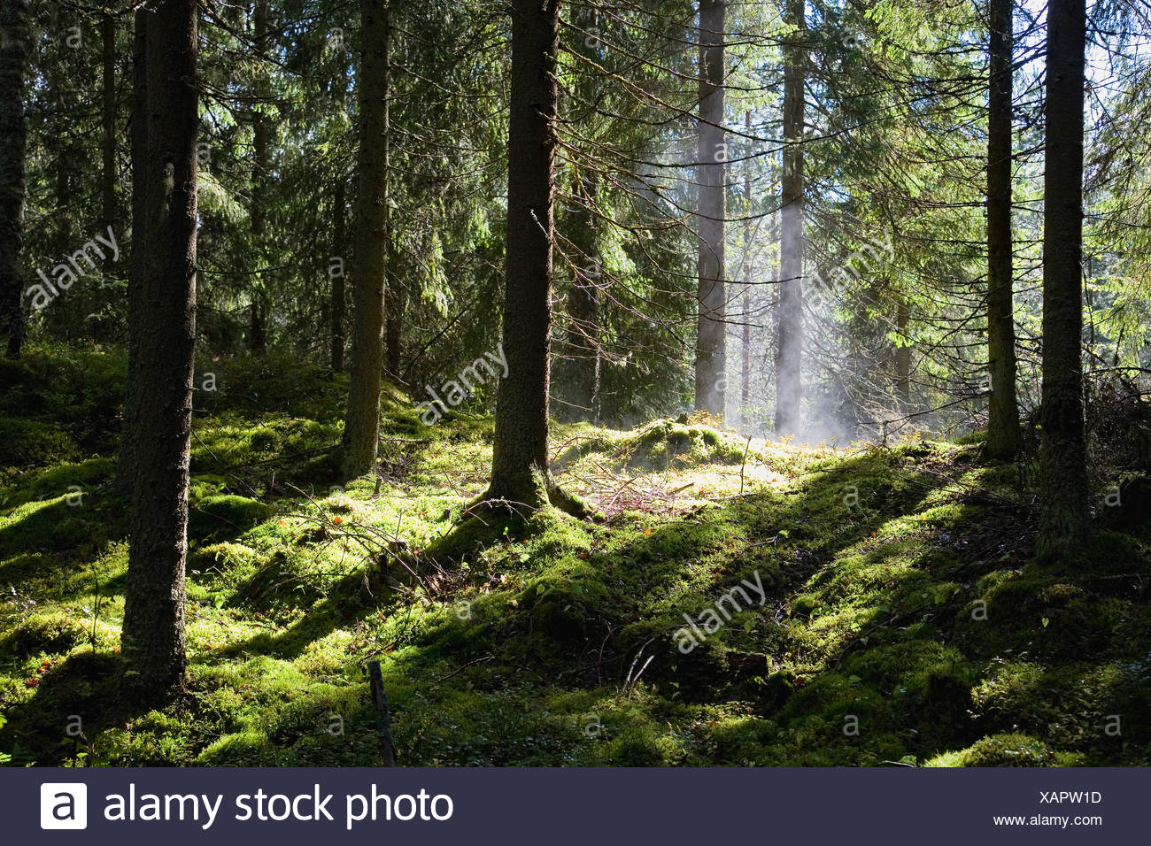Lush green forest after rain-shower - Stock Image
