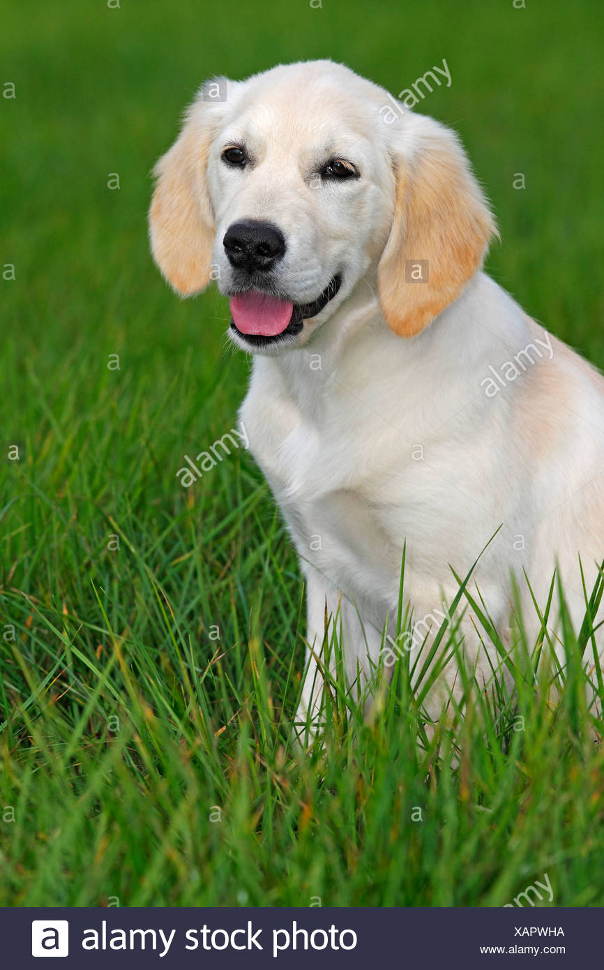 Golden Retriever (Canis lupus familiaris) puppy, three months, running across a meadow - Stock Image