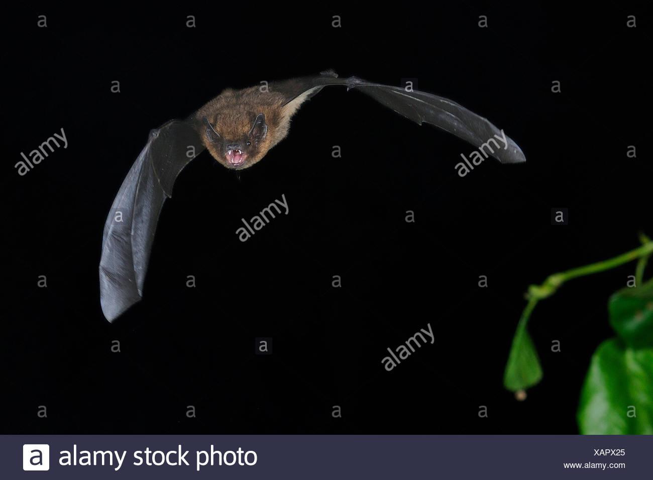Zwergfledermaus im Flug aus dem Schlafplatz, Sennestadt, NRW, Deutschland - Stock Image