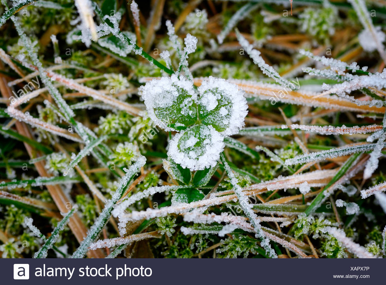 Clover leaf with hoarfrost in winter - Stock Image