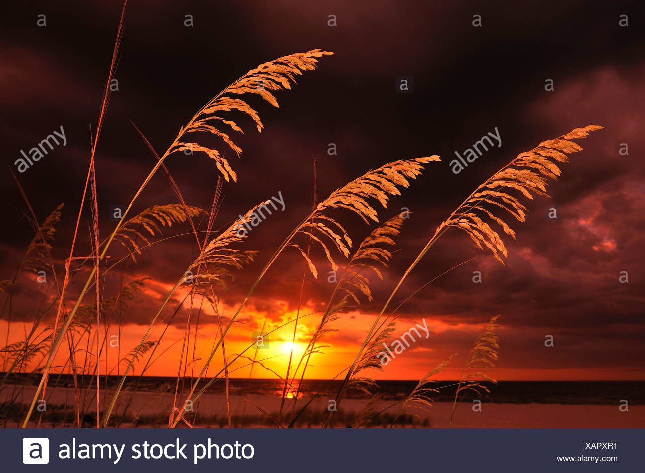 Grasses on sand dunes on beach with a colorful sunset in Florida. - Stock Image