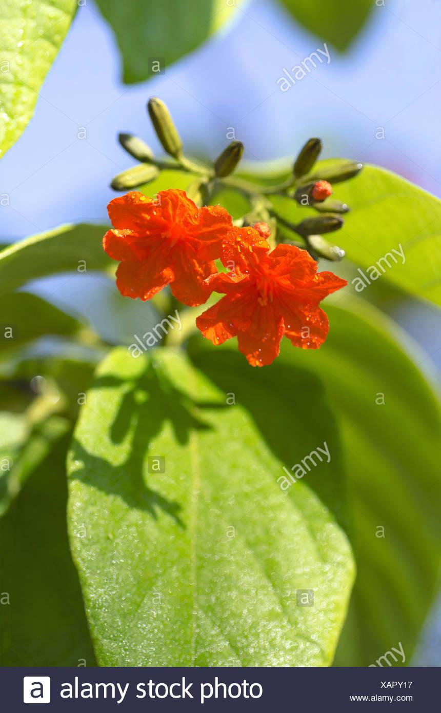 Orange flowers, Pune, Maharashtra, India - Stock Image