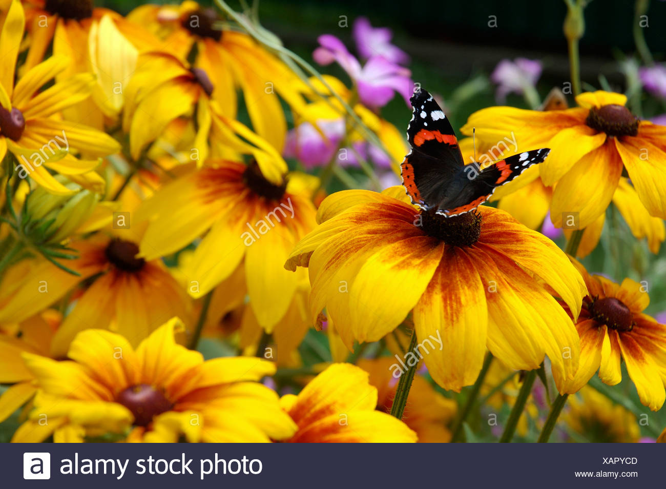 A butterfly rests on the anther of one of the yellow petaled flowers Admiral - Stock Image