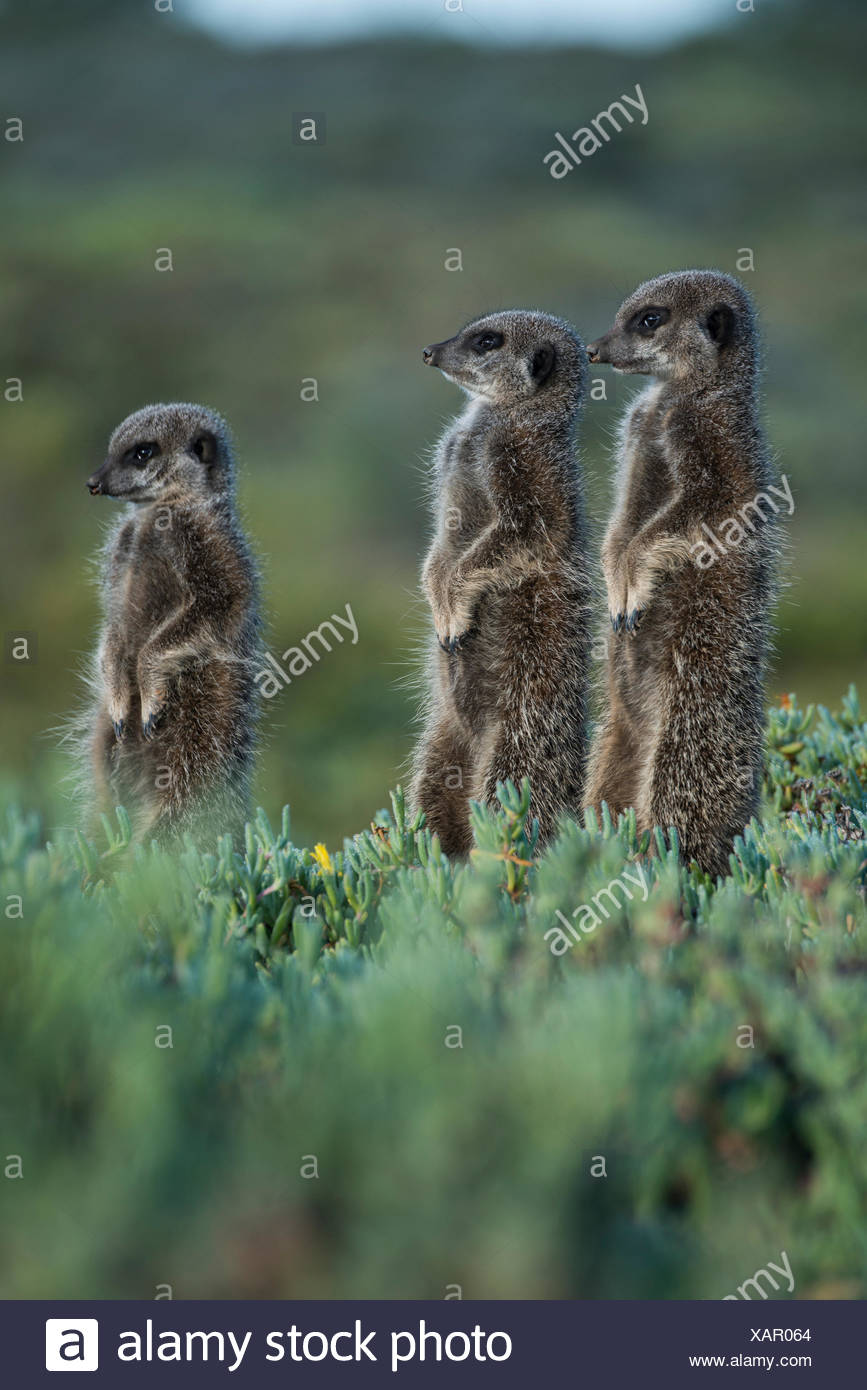 Three Meerkats (Suricata suricatta), Little Karoo, Western Cape, South Africa - Stock Image