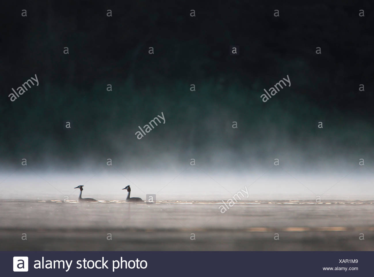 Two Great Crested Grebes on a lake - Stock Image