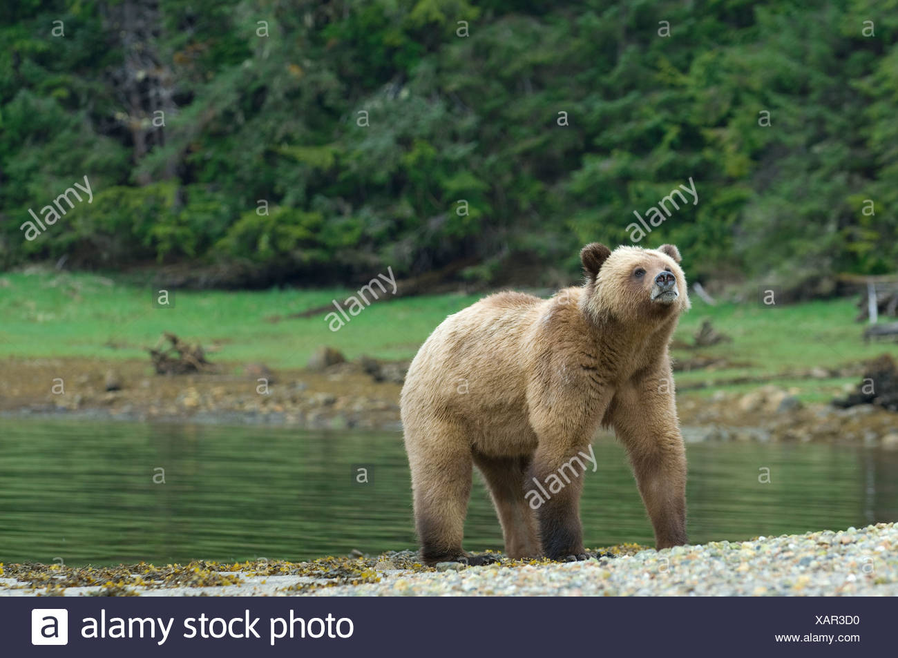 Female Grizzly Bear (Ursus arctos horribilis) sniffs air during mating season at Khutzeymateen Grizzly Bear Sanctuary North of P - Stock Image