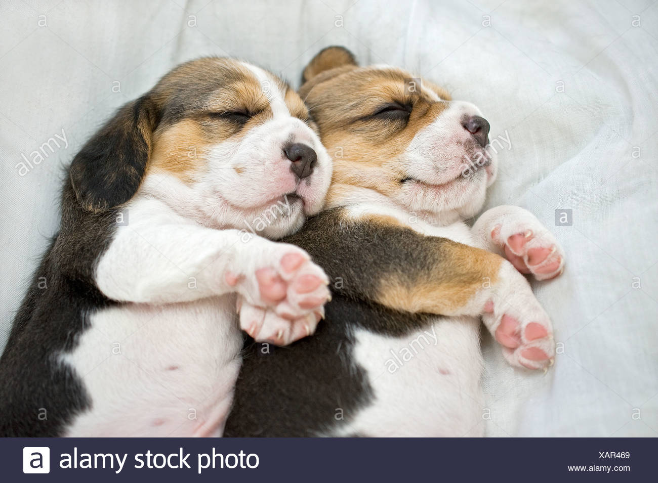 Beagle dog. Two puppies sleeping on a blanket - Stock Image