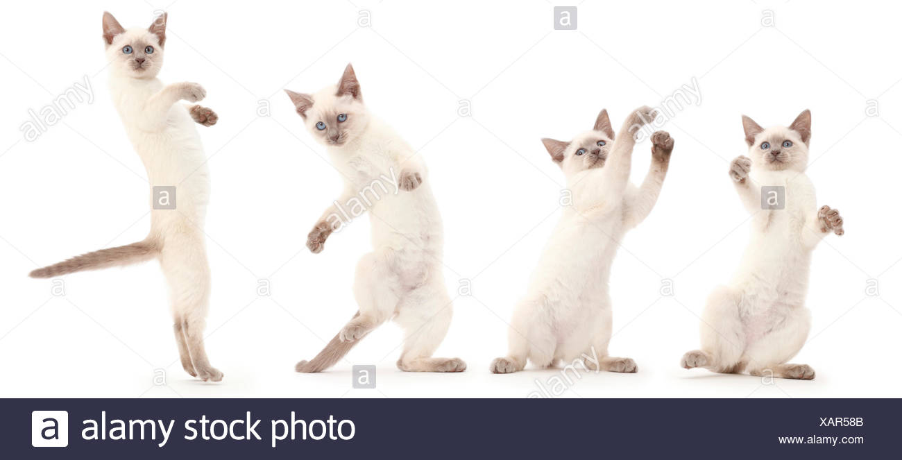 Blue point kitten standing on back legs,  playing. Digital composite. - Stock Image