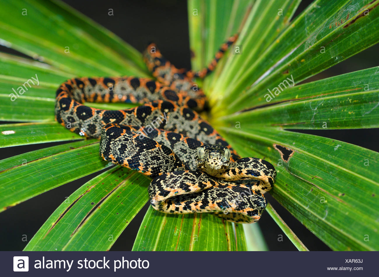 Juvenile Amazon Tree Boa Corallus hortulanus on leaf Napo River ...