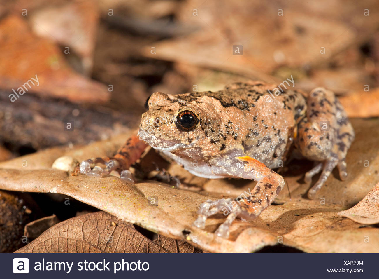 Photo of a tree hole frog, they lay their eggs in tree holes, males call from tree holes so the females can locate them Stock Photo