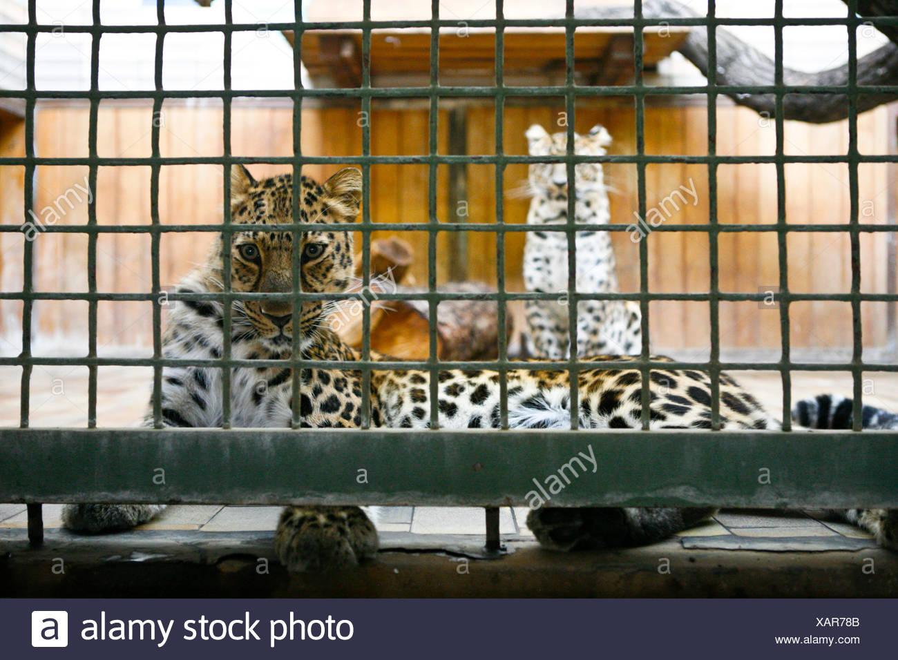 Amur Leopard (Panthera pardus orientalis) in a small cage at Tiergarten Berlin zoo, Berlin, Berlin, Germany Stock Photo