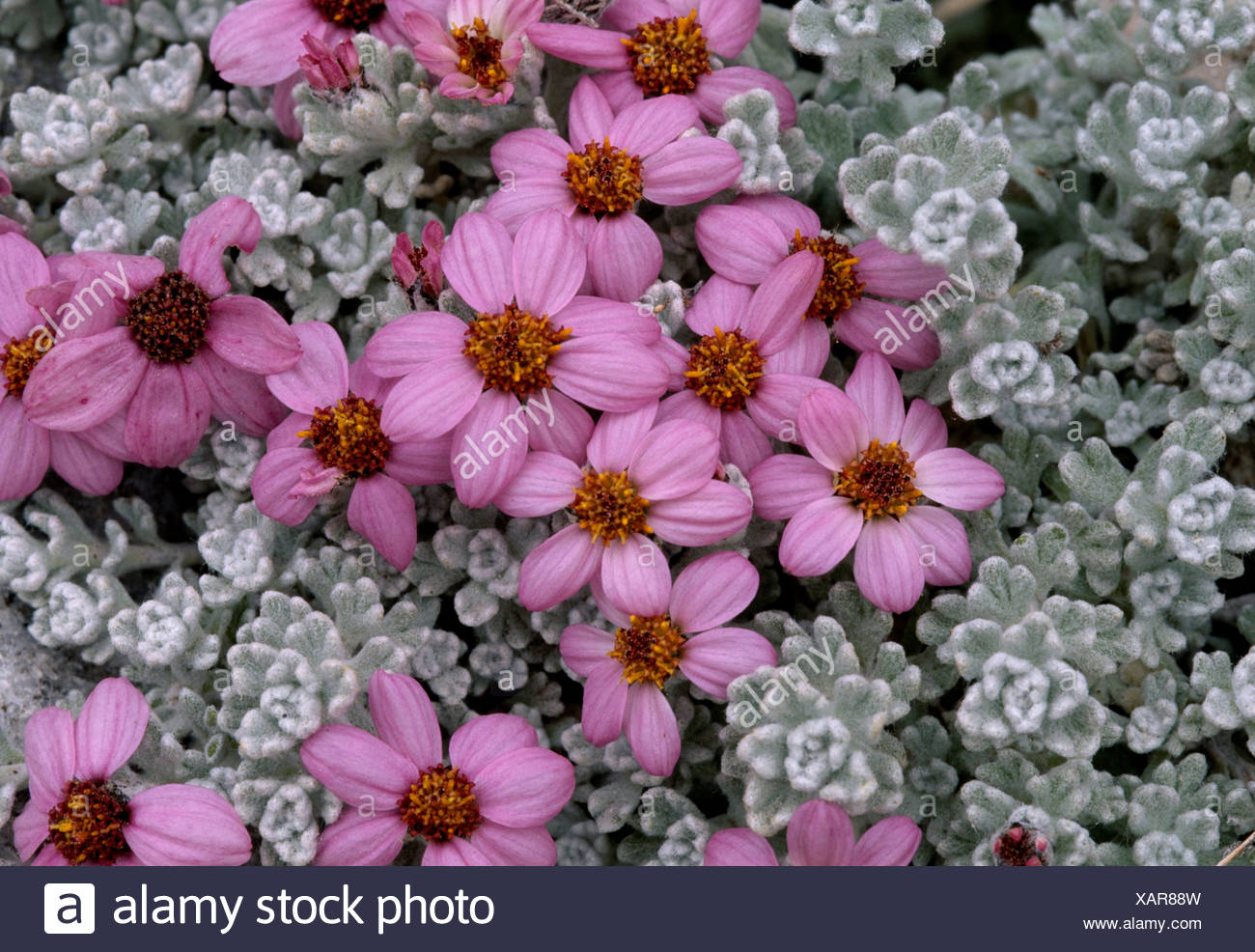 Flowers, Baltoro Glaciers, Paksitan - Stock Image