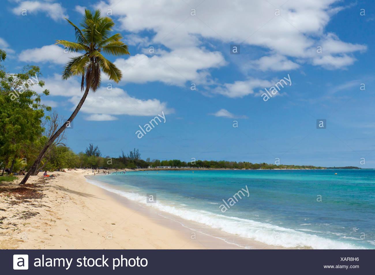 Palm tree on the Anse du Souffleur beach, Port-Louis, Grande-Terre, Guadeloupe island, French Antilles, Lesser Antilles Stock Photo