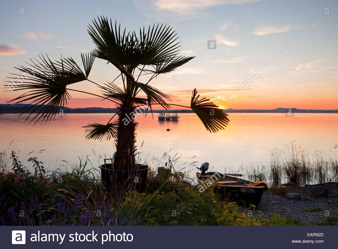 Palm tree on Lake Constance at dusk, Insel Reichenau island, Baden-Wuerttemberg, Germany, Europe, PublicGround - Stock Image