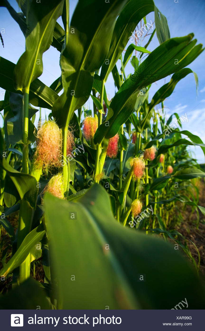Agriculture - Mid growth grain corn plants with a healthy crop of immature ears / near Northland, Minnesota, USA. Stock Photo