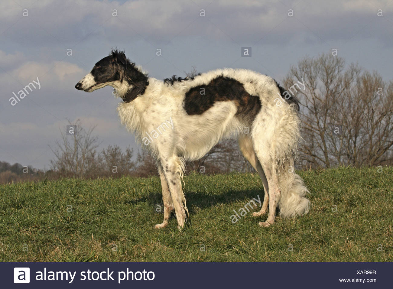 Barzoi (Canis lupus f. familiaris), standing on a meadow Stock Photo