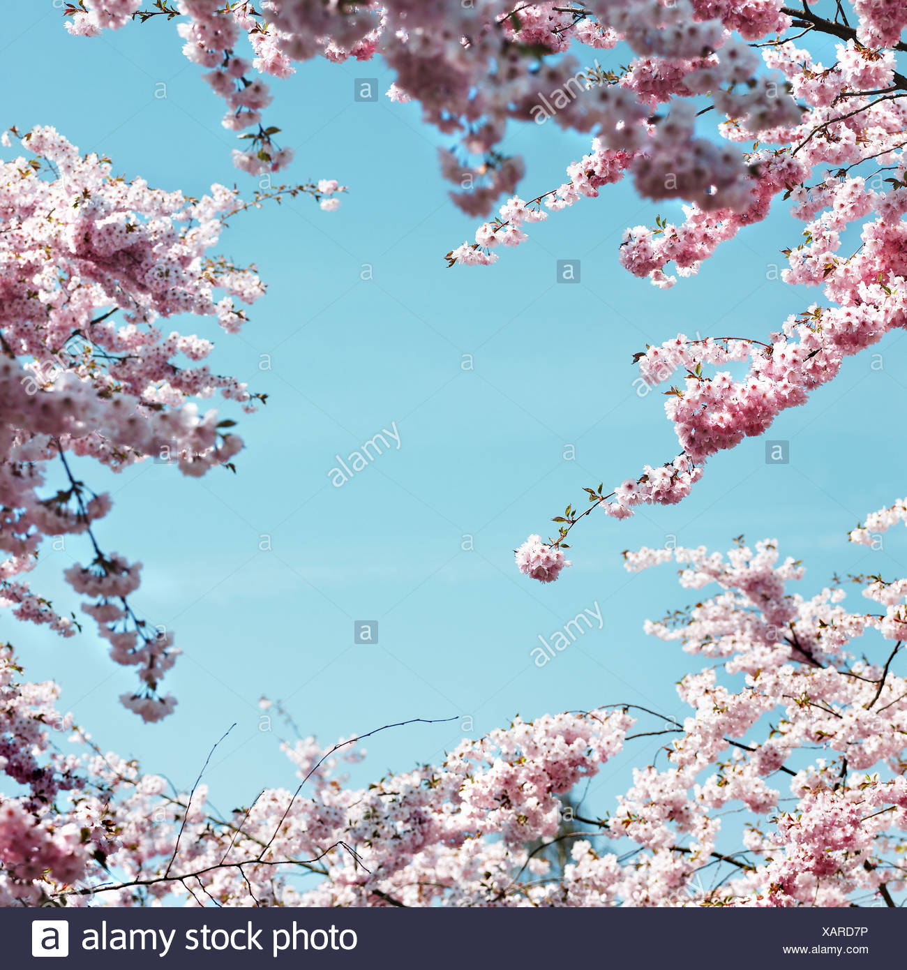 Pink cherry blossoms against blue sky Stock Photo