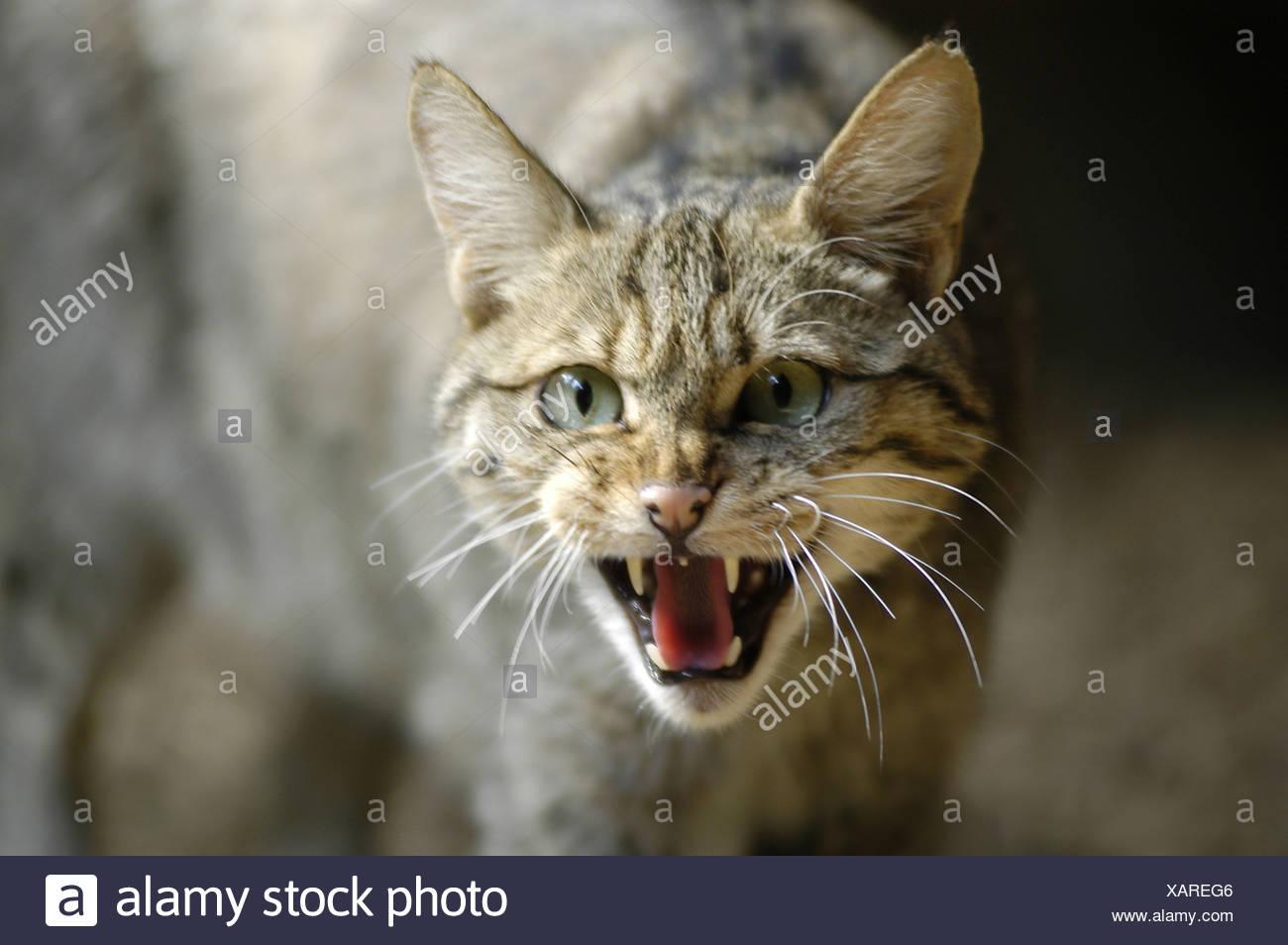 wild cat (Felis silvestris), snarling, captive, Germany, NP Bavarian Forest - Stock Image