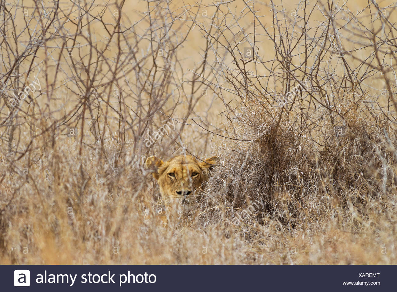 Lioness (Panthera leo), hidden, observes her surroundings, Kruger National Park, South Africa - Stock Image