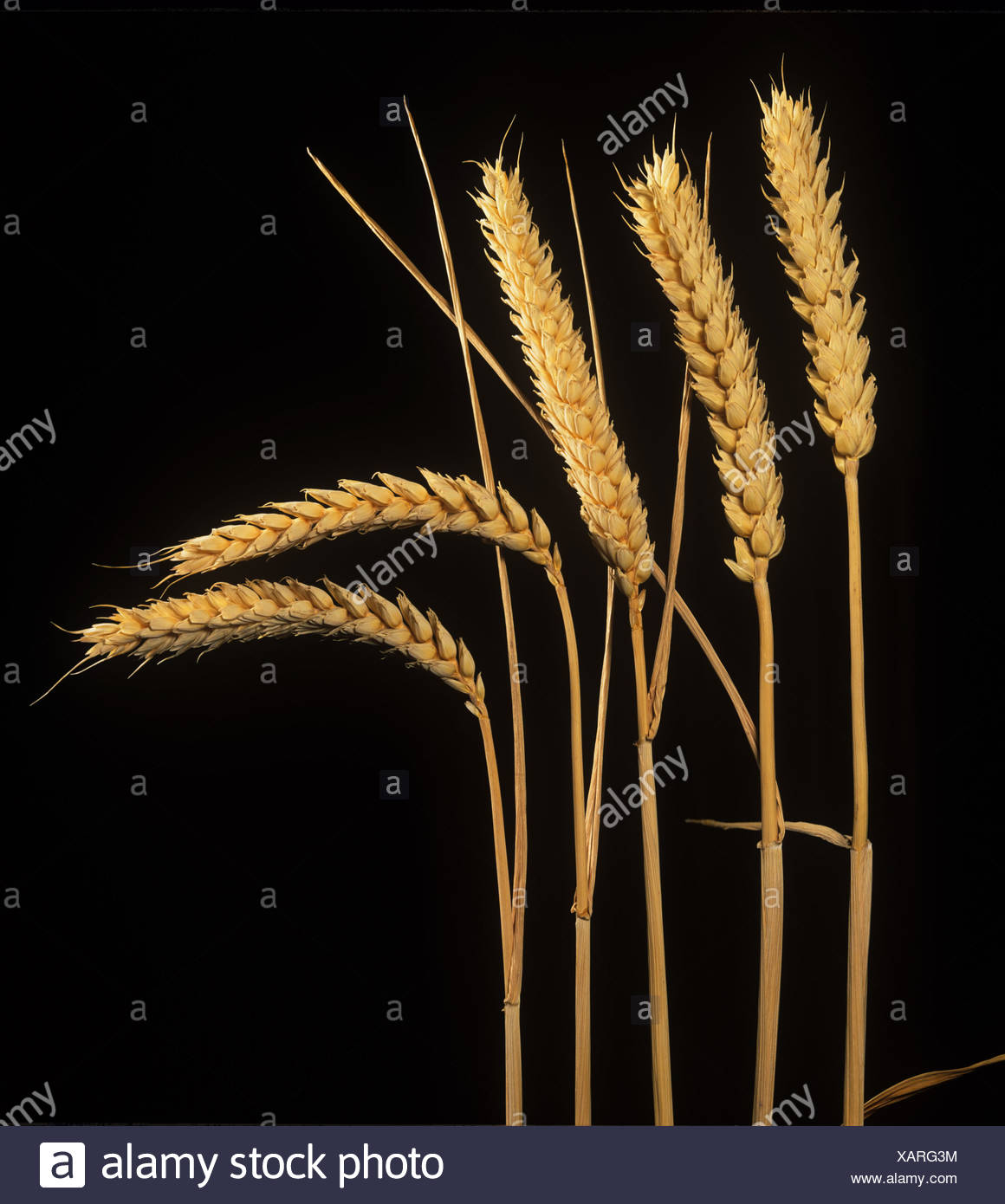 Ripe ears of winter wheat against a black background - Stock Image