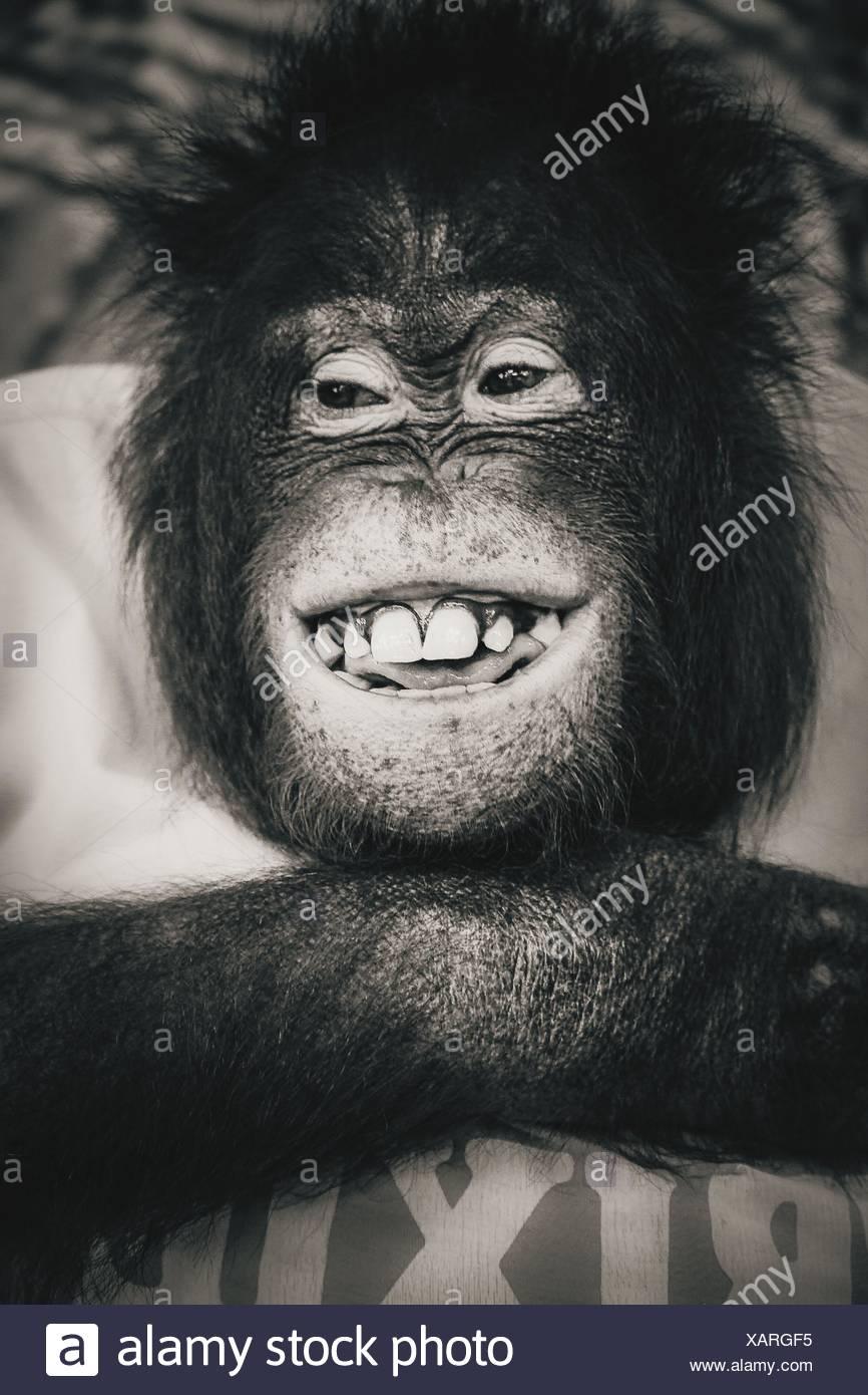 Close-Up Of Smiling Monkey - Stock Image