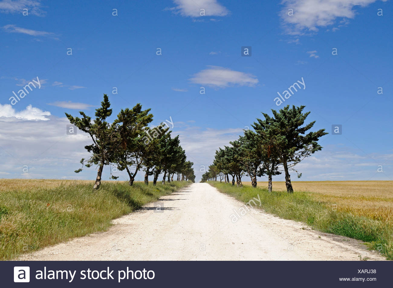 Isolated unpaved road heading straight to the horizon through the fields and a row of trees, Cuenca province, Castile-La Mancha - Stock Image