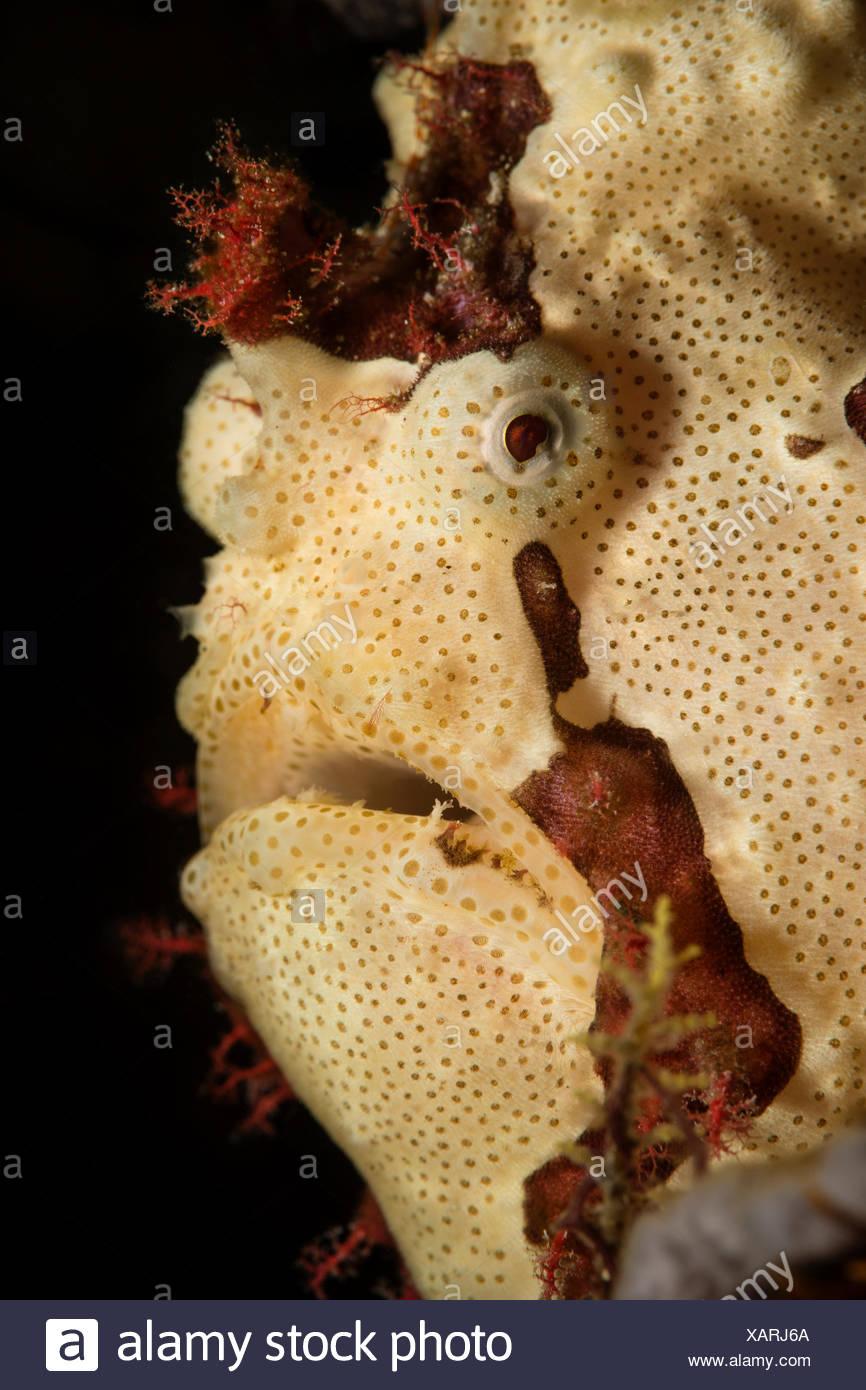 Portrait of Warty Frogfish, Antennarius maculatus, Komodo, Indonesia - Stock Image