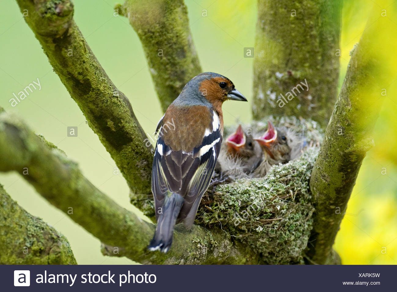 caffinch at nest with fledglings / Fringilla coelebs - Stock Image