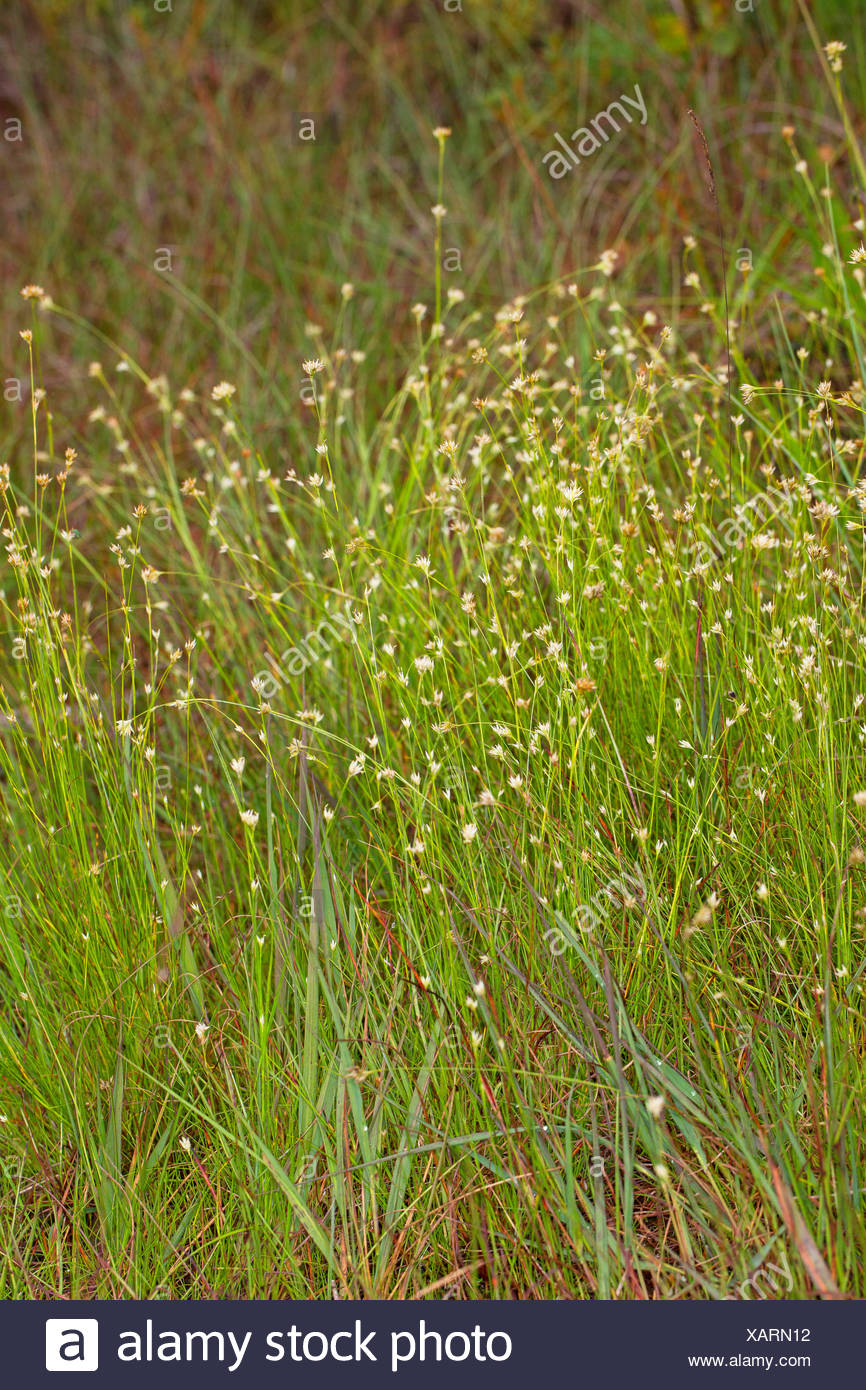 white beak-sedge (Rhynchospora alba), blooming, Germany Stock Photo