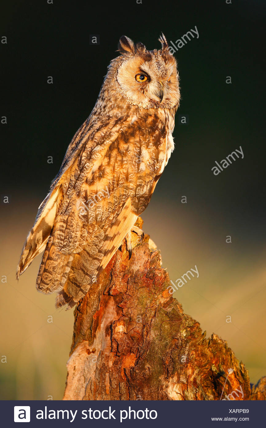 long-eared owl (Asio otus), perching on tree stump at forest's edge in evening light, Belgium - Stock Image