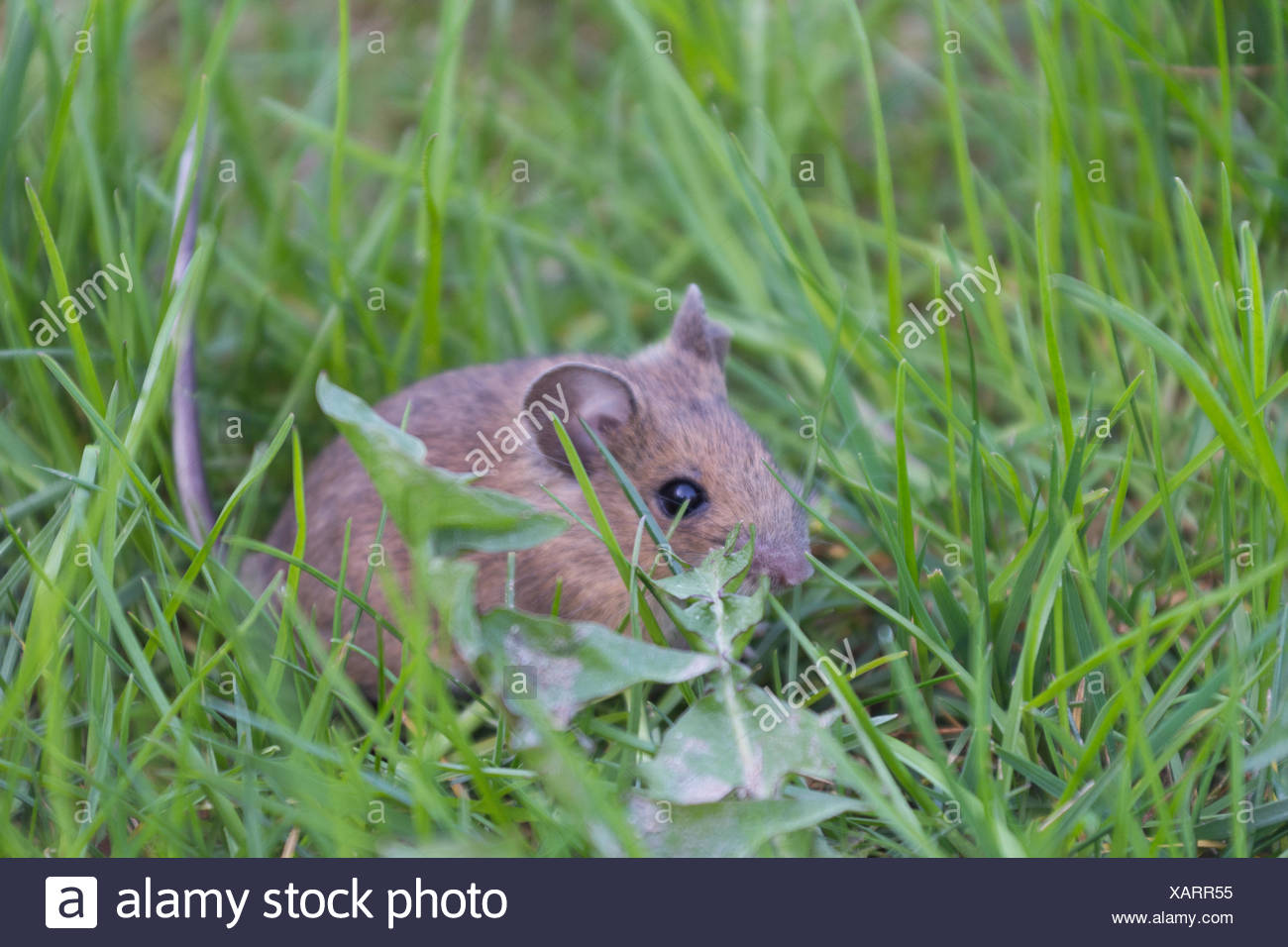 Gray mouse sitting anxiously in the grass Stock Photo