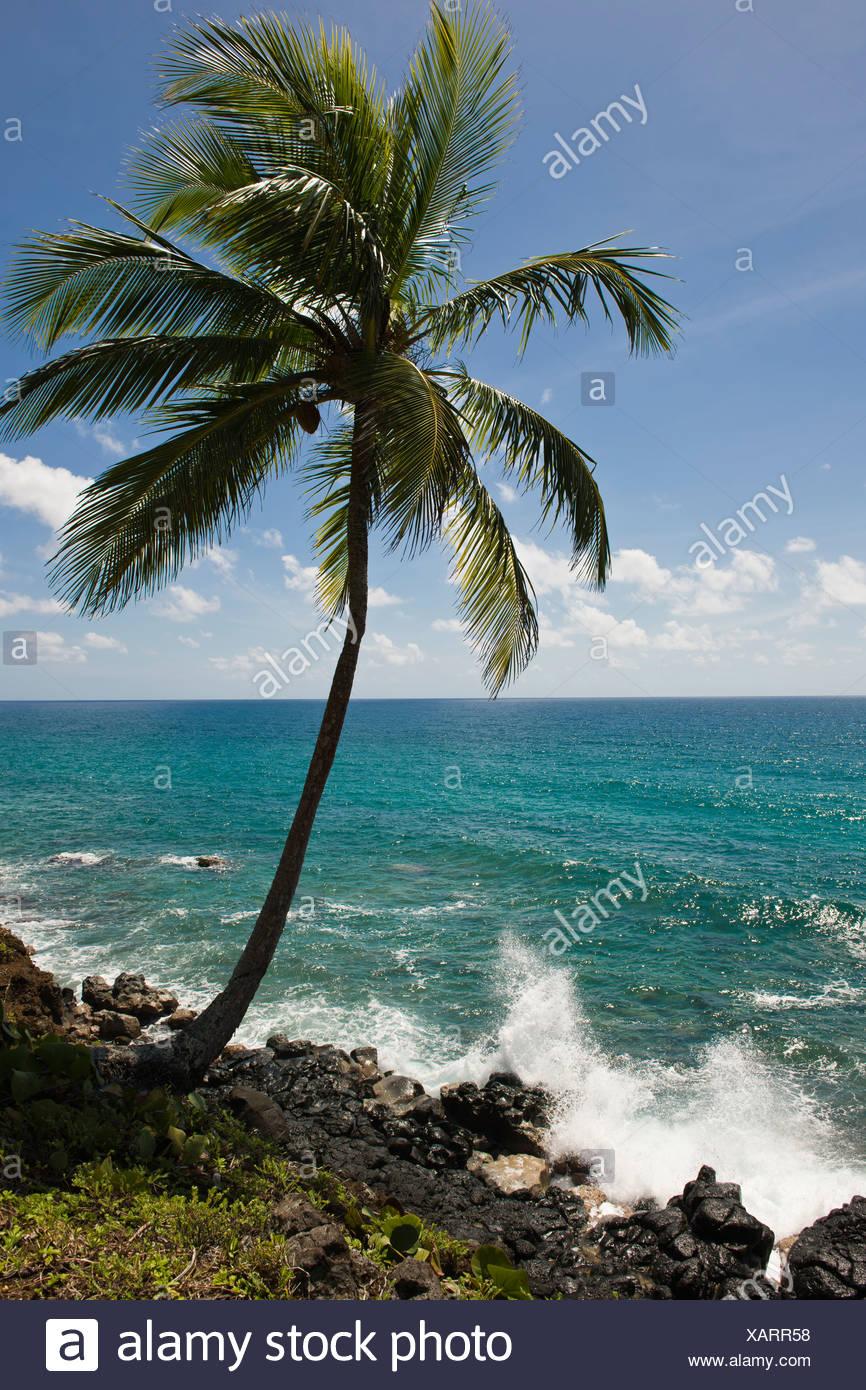 Coconut palm, Big Corn Island, Caribbean Sea, Nicaragua, Central America Stock Photo