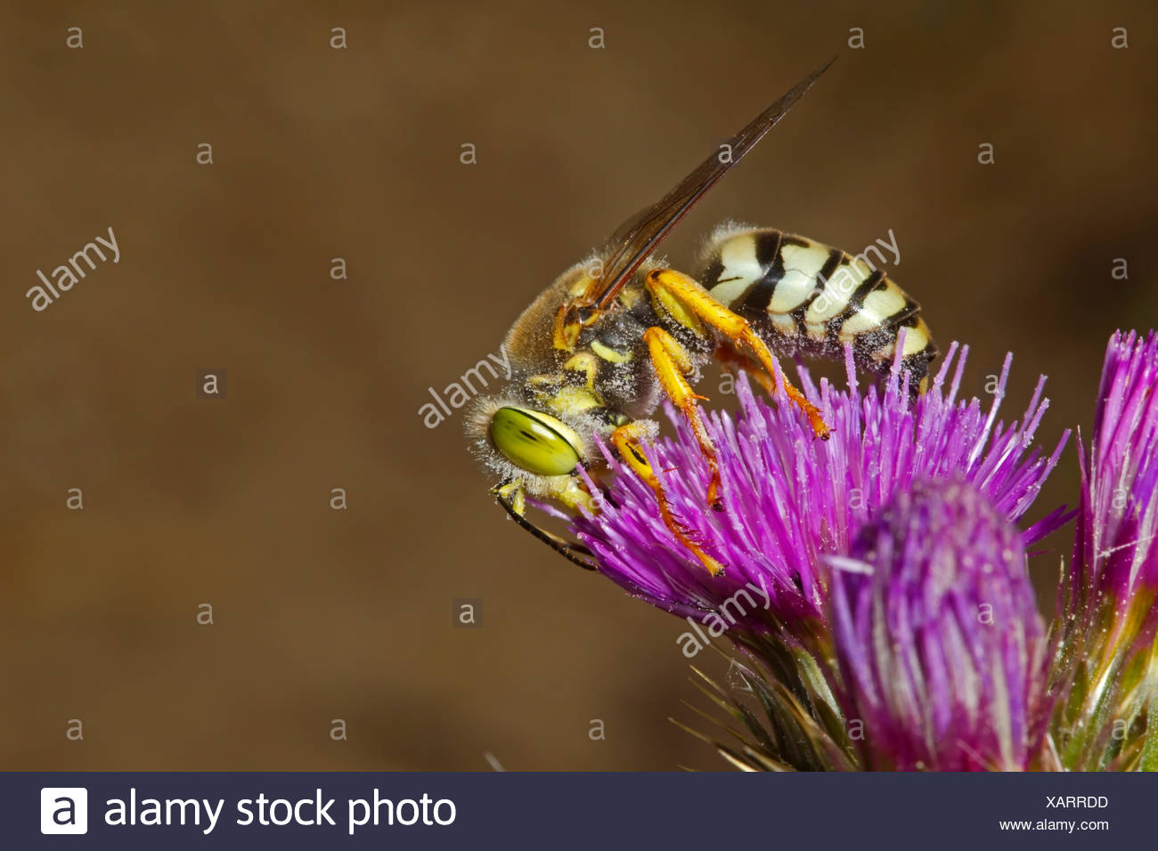 Bembix rostrata - a protected species of sand wasp - Stock Image
