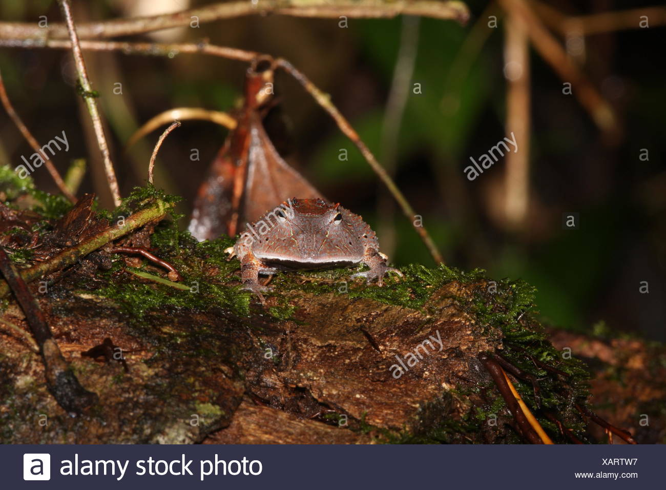 Amazon horned frog, Ceratophrys cornuta. Aggressively territorial and voracious. Will attack anything their size or smaller. Their ravenous appetite and huge mouths have earned them and other horned frogs the pet-trade nickname Pac Man frogs. Stock Photo