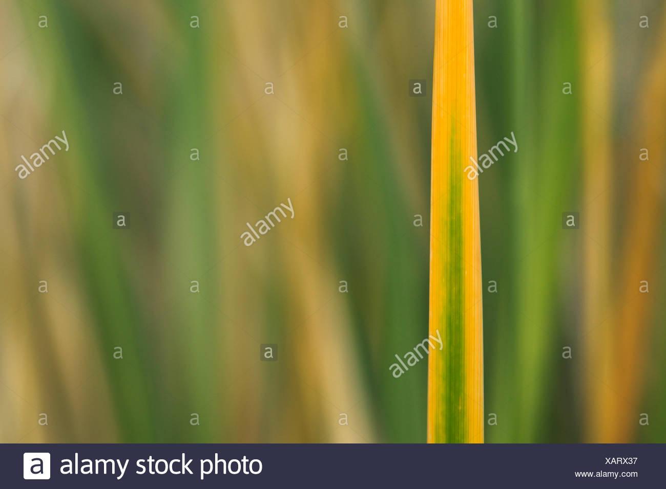 Detail, Germany, Europe, dune, dune grass, blade of grass, Helgoland, coastal vegetation, macro, sea, seashore, pattern, nature, - Stock Image