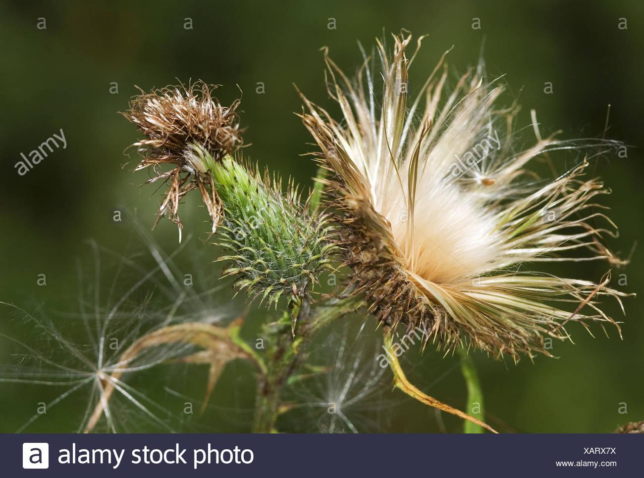 Spear Thistle / Cirsium vulgare - Stock Image