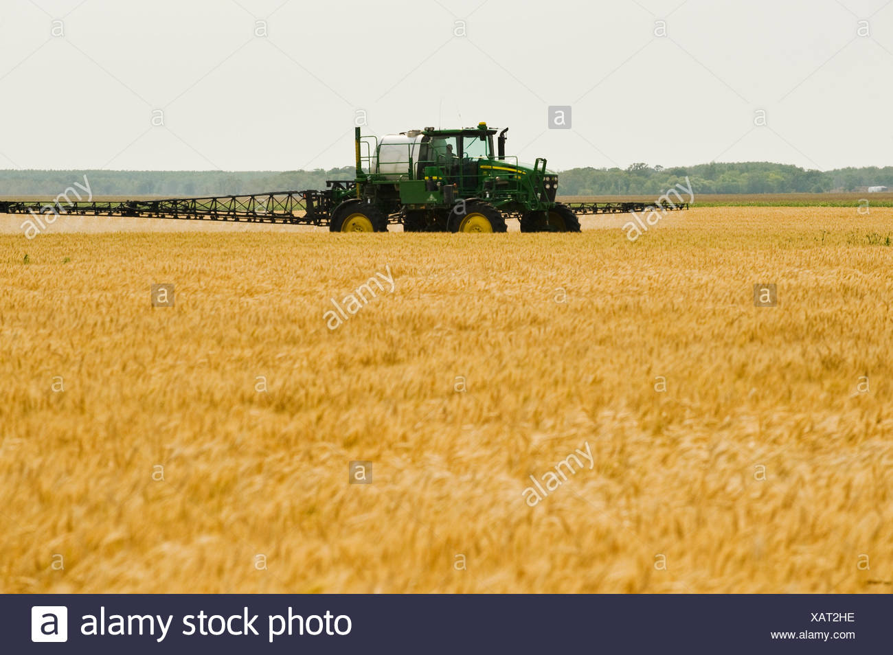 a high clearance sprayer gives a chemical application of herbicide to mature  winter wheat, near Carey, Manitoba, Canada - Stock Image