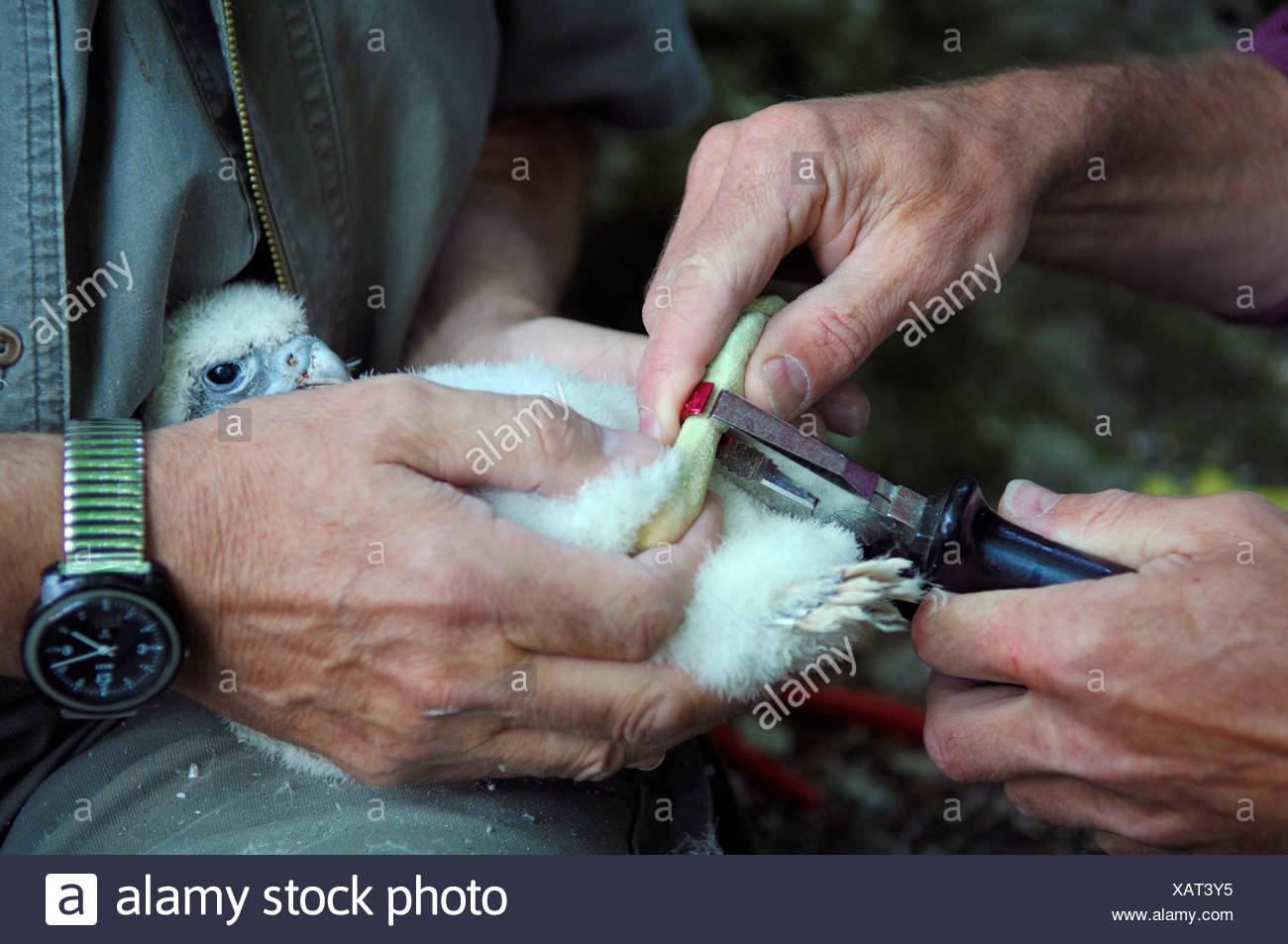 A Young Peregrine Falcon Stock Photos & A Young Peregrine Falcon ...