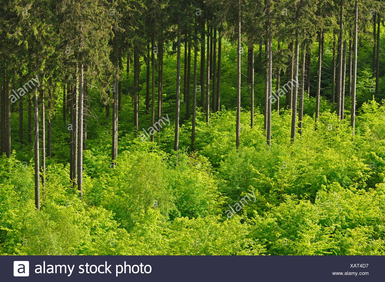 Norway spruce (Picea abies), conifer forest with young decidous trees, Germany - Stock Image