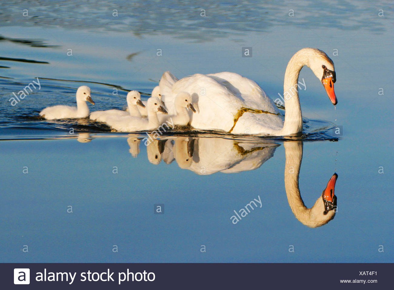 Hoeckerschwan, Hoecker-Schwan (Cygnus olor), mit Jungschwaenen, USA, Michigan | mute swan (Cygnus olor), with chicks, USA, Michi - Stock Image