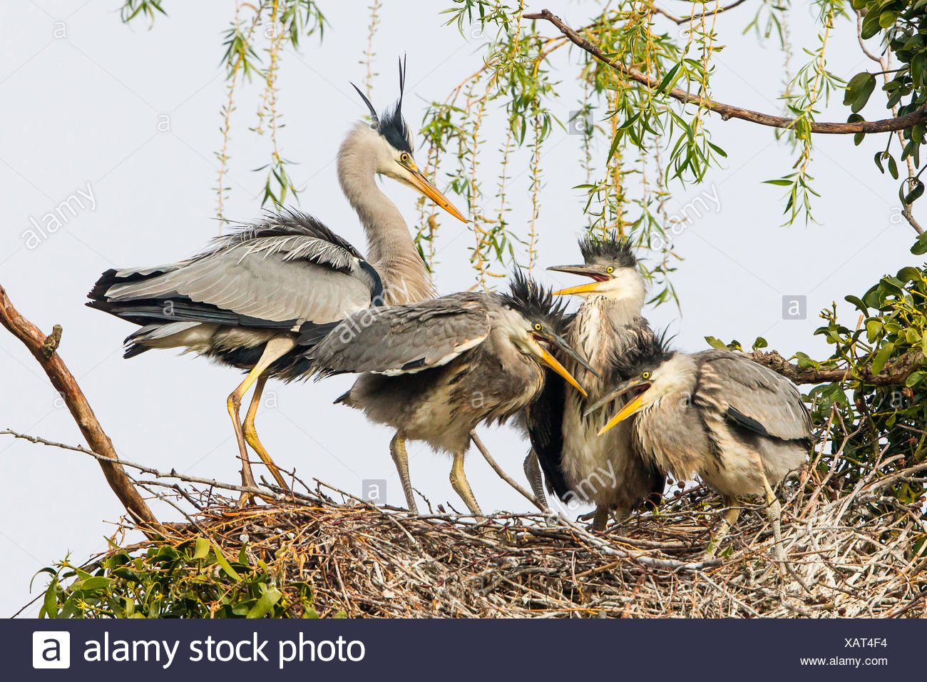 Grey Heron (Ardea cinerea), adult with young birds in a nest, Lower Saxony, Germany - Stock Image