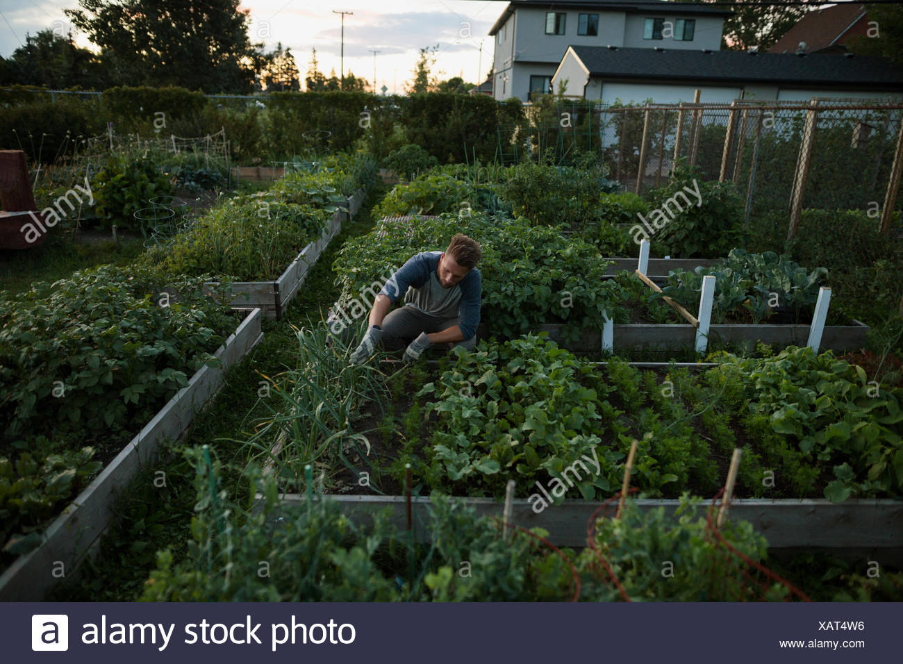 Man tending to vegetable garden at dusk - Stock Image