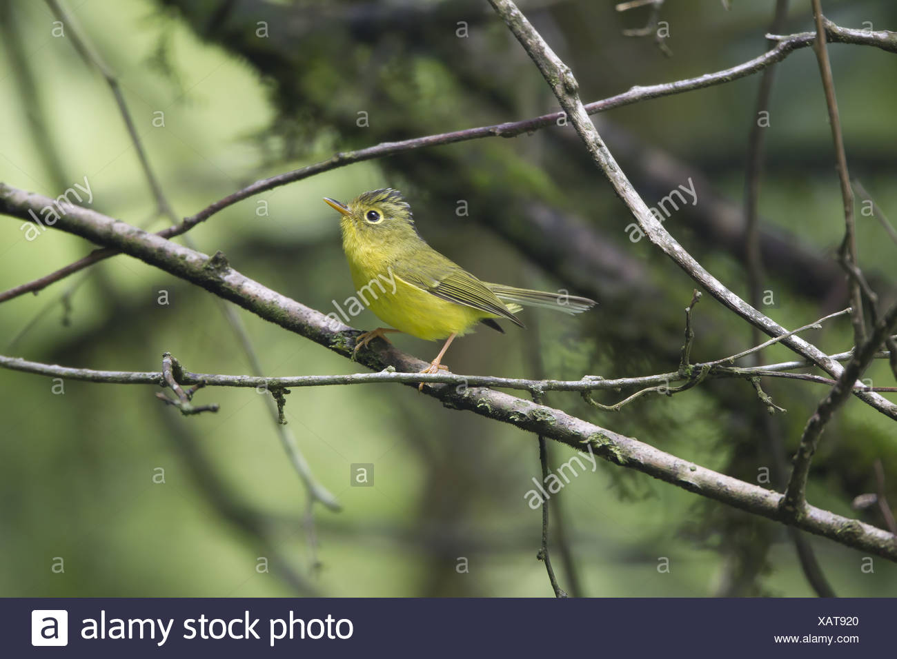 Whistler's Warbler (Seicercus whistleri) adult breeding plumage searching for prey items perched on twig Kathmandu Valley Stock Photo