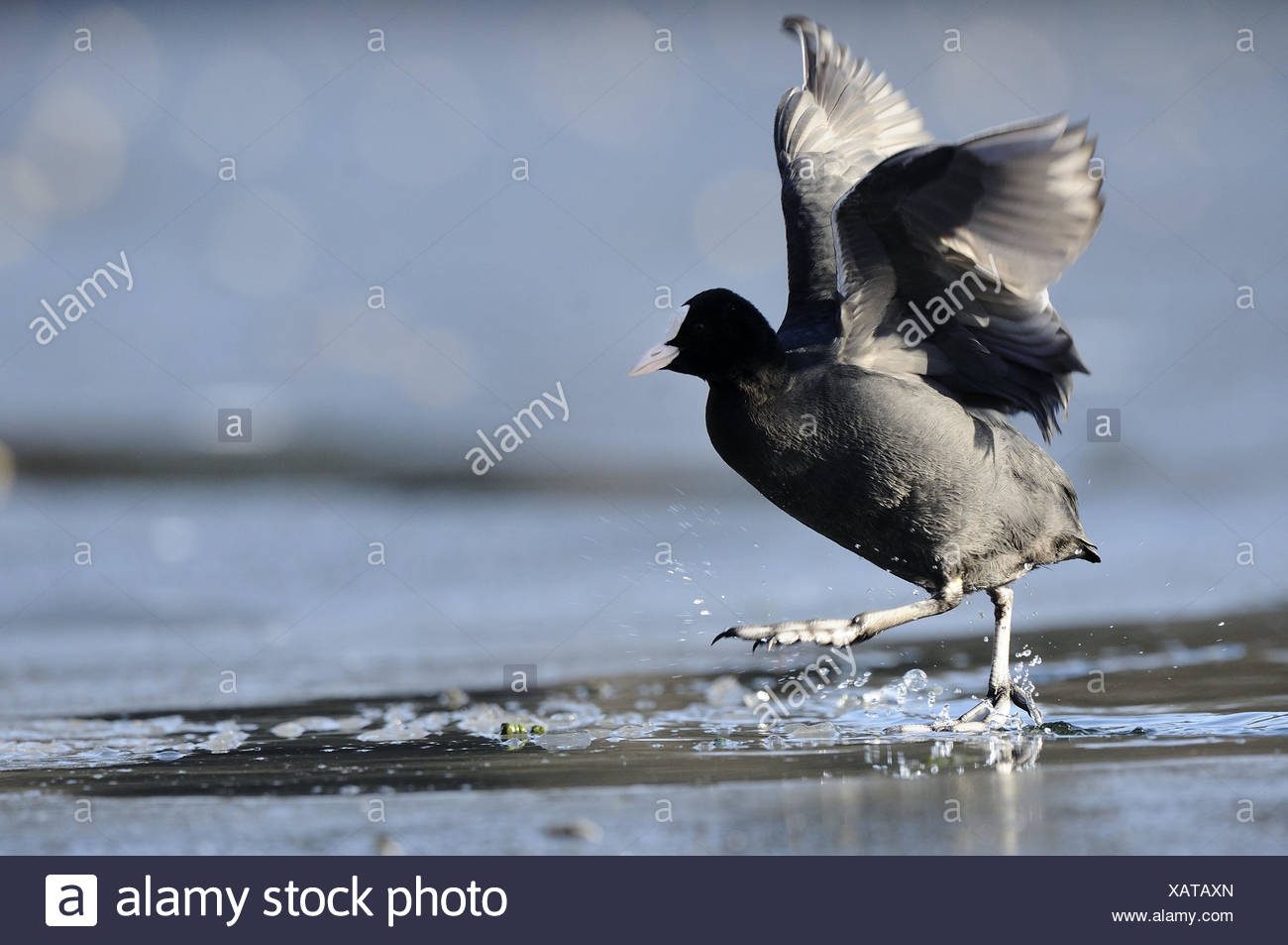 Coot, Fulica atra, water, shallowly, wade, side view, nature, animal, bird, wing, flapping of wings, plumage, legs, water drops, lake, pond, shore, movement, whole body, background, blur, - Stock Image