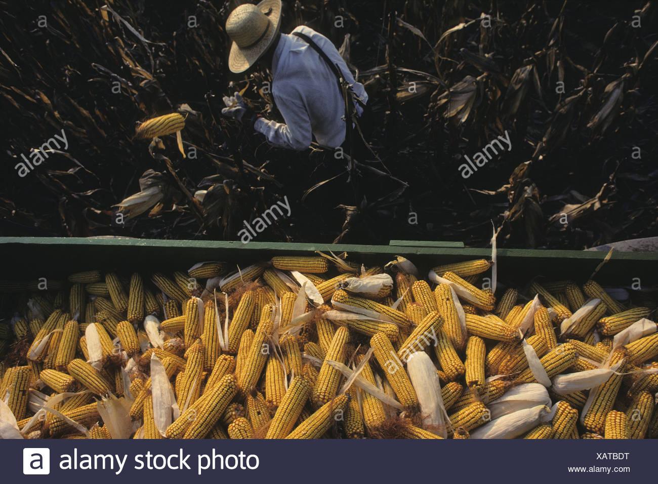 Amish cornhusker Robert Slabaugh,61, on his farm near LaGrange, Indiana. - Stock Image